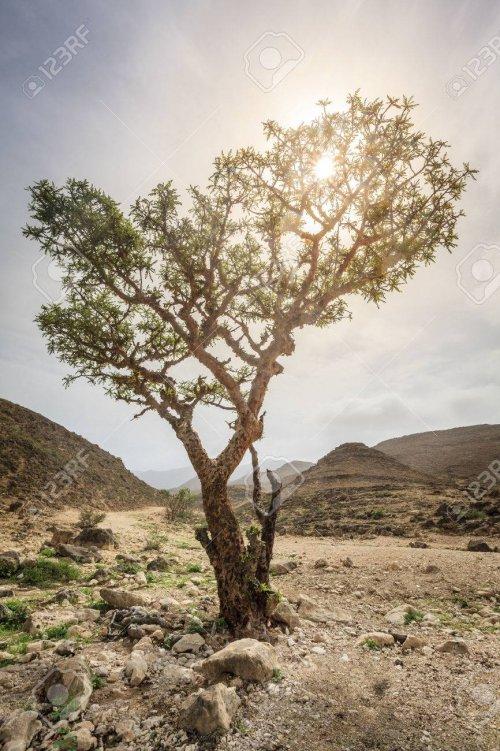 A Boswellia sacra é a principal árvore do gênero Boswellia, da qual é colhido o incenso. É nativa da Península Arábica e do nordeste da África.