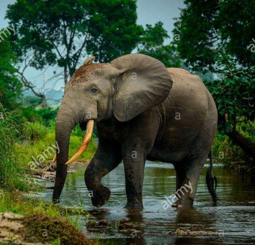O elefante da floresta africana (Loxodonta cyclotis).