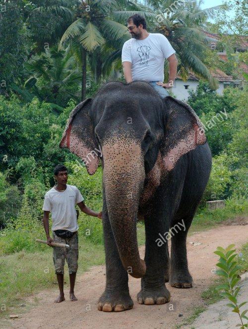 Essa foto do elefante asiático (Elephas maximus) montado por um homem é útil para uma noção de escala.
